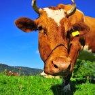 Qué es el colágeno bovino