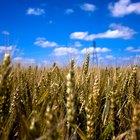 Granos de trigo de invierno vs. granos de trigo de primavera
