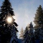 La fotosíntesis en los árboles de pino