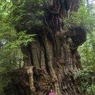 Qué simboliza el árbol sicómoro