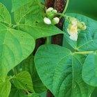 ¿Cuál es la mejor temperatura para la germinación de una semilla de frijol?