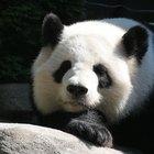 Datos sobre osos panda bebés