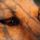 Razones del tejido hinchado en los alrededores del ojo de un perro