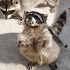 Enfermedades que los mapaches pueden transmitir a los humanos