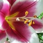 ¿Qué partes de la flor están involucradas en la reproducción?