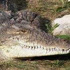El ciclo de vida de un cocodrilo del Nilo