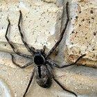 Las arañas más venenosas de Australia