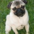 Síntomas y signos de una perra pug embarazada