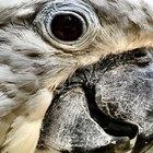 Enfermedades de los ojos en los loros