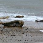 Cómo se defienden las focas