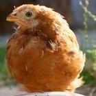 Clases de gallinas y gallos