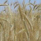 Condiciones del clima para el cultivo de trigo