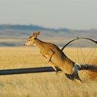 Características de adaptación de un ciervo