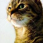 Efectos en la salud debido a la inhalación de olor a orina de gato