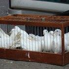 Cómo saber si las palomas son machos o hembras