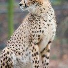 ¿Qué animales comen los guepardos?