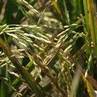 Nutrición y beneficios del arroz vaporizado y el arroz integral