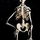 Definición y función del esqueleto humano