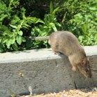 Alergias a las ratas