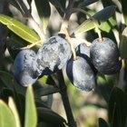 La aceitunas negras y sus beneficios para la salud