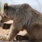 Animales en peligro de extinción de los bosques coníferos