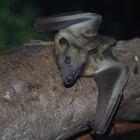 ¿Cuáles son los depredadores del murciélago en la selva?