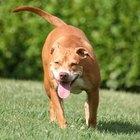 Características físicas de los pitbull cachorros