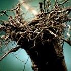 Valor nutricional de la raíz de malanga