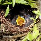 El crecimiento de pájaros bebés