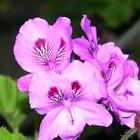 Usos del aceite esencial de rosa geranio