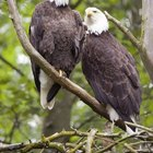 Diferencias entre el águila calva macho y hembra
