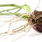 Observación de meristemos en las puntas de la raíz de cebolla