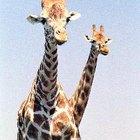 Características específicas de las jirafas