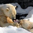 ¿Por qué los osos polares tienen el pelaje de color blanco?