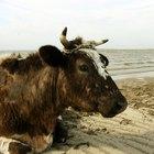 Cómo hacer una corneta con un cuerno de vaca