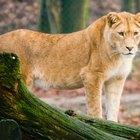Información sobre leones cachorros