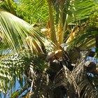 Potasio en el agua de coco