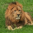 Cómo pintar un león