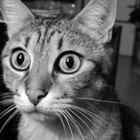 Síntomas de obstrucción intestinal en un gato