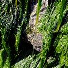 ¿Tiene beneficios el jabón de algas marinas?