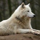 ¿En qué tipo de hábitat vive el lobo gris?