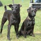 Medicamentos para tratar los niveles bajos de albúmina en perros