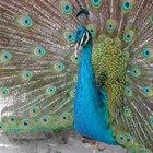 ¿Cuáles son los colores de una pluma de pavo real?