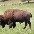 "Síntomas de la ""joroba de búfalo"""