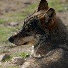 Diferencias físicas entre un lobo y un perro