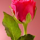 Remove Thorns in Roses for Flower Arrangements