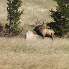 Elk Hunting Regulations for Colorado
