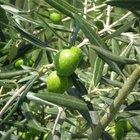 Remedios caseros con aceite de oliva para la belleza y la salud