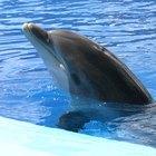 El ciclo de vida de los delfines nariz de botella