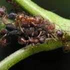 Cómo saber si una hormiga es macho o hembra
